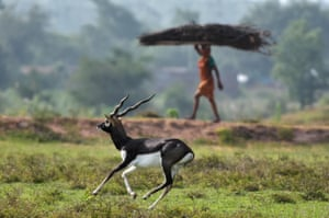 A villager carries wood while a blackbuck runs on a field near Bhetnoi village in Ganjam District, in the Indian eastearn state of Odisha