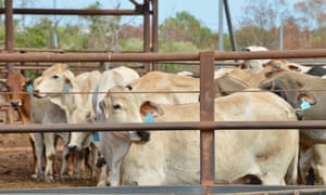Cattle in the Berrimah export yards in Darwin. A spokesman for Barnaby Joyce said the number of permits issued by Jakarta is 'well below industry expectations'.