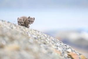 Arctic fox cubs in Spitzbergen, Norway.
