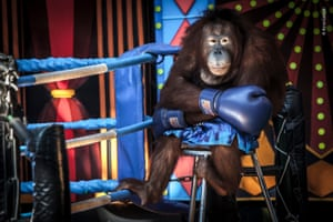 Losing the Fight by Aaron Gekoski (UK). An orangutan wears boxing gloves and shorts in a ring
