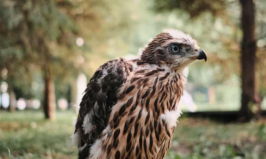 A northern hawk goshawk chick