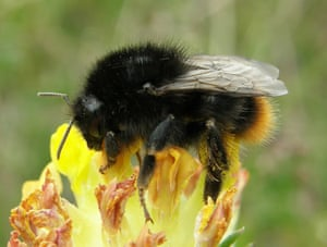 Red-shanked carder bee (Bombus ruderarius) on kidney vetch