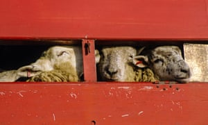 Sheep being exported