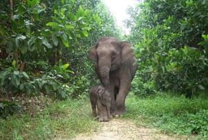 A sumatran adult elephant standing next to a baby elephant
