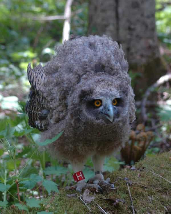 Fledgling Blakiston's fish owl on the island of Hokkaido.