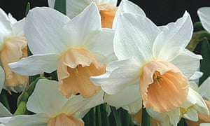 Gardens The Joy Of Daffodils Life And Style The Guardian