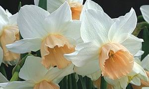 Daffodil 'Katie Heath'.