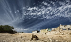 Goat forages, West Bank