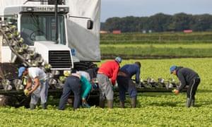 EU migrant workers harvesting lettuce in West Lancashire.