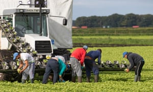 EU migrant workers harvesting lettuce in West Lancashire. Farmers are concerned about hiring shortages after Brexit.