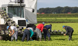 EU migrant workers harvesting lettuce in West Lancashire