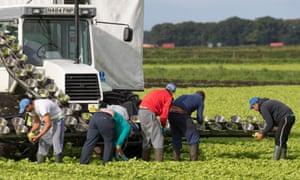 EU migrant workers harvesting lettuce in Lancashire