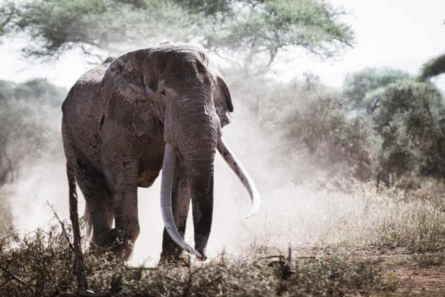 Veteran crop-raider: the elephant known as Tim.