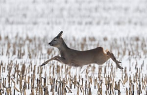 A roe deer runs in a field near the village of Garadishche, Belarus