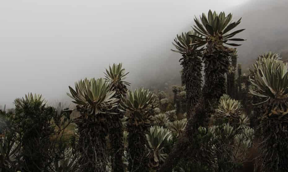 Frailejones, or big monks, rise amid the misty Andean páramos in Colombia.