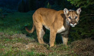 Cougars rarely attack humans but fatalities have occurred in the past