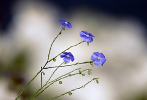 Blue flax flowers atop a cliff on the Dzhangul landslide coast at the Tarkhankut Nature Park, Ukraine