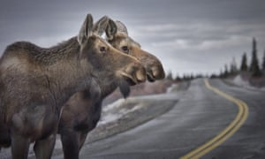 Every year, between 600 and 800 moose are killed in Alaska by cars.
