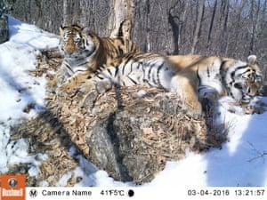 Svetlaya and Borya, Amur tigers in the Russian far east
