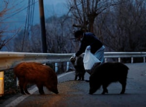 Kato feeds wild boars in front of his home