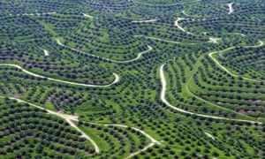 Palm oil plantations in Indragiri Hulu, Riau province, Indonesia. A new Greenpeace report claims multinational companies are still unaware whether palm oil they buy is linked to rainforest destruction.