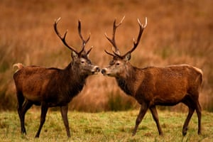 Red deer graze in the Highlands in Glen Etive, Scotland. These members of Britain's largest wild animal species roam on open moorlands in summer and move lower ground into forests and woodland for shelter during the harsh Scottish winters