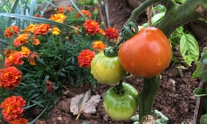 Tomatoes after rain: allotments callout 2019