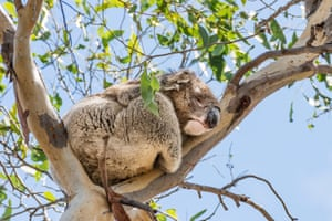 A koala sleeps high up a eucalyptus tree on Kangaroo Island, Southern Australia