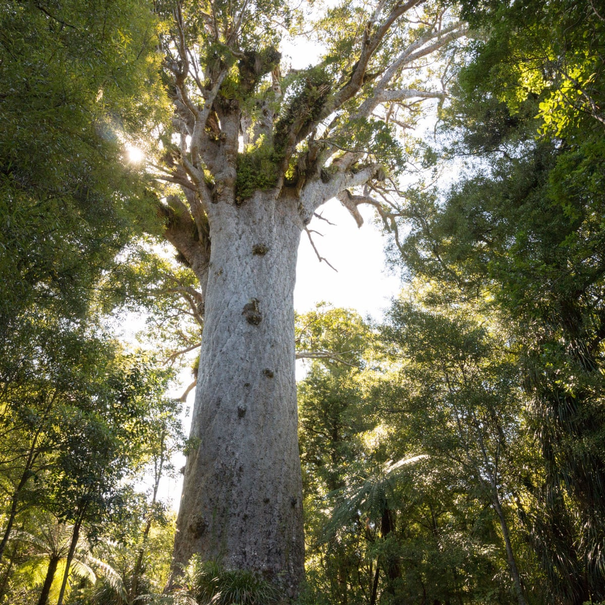 First Hiker Charged In New Zealand With Entering Quarantined Kauri Forest New Zealand The Guardian • contracted for a project constructing a life size kauri tree that was commissioned for the new te ahu centre in kaitaia. entering quarantined kauri forest