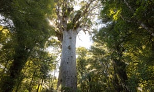 Tāne Mahuta, the the world's largest surviving kauri tree
