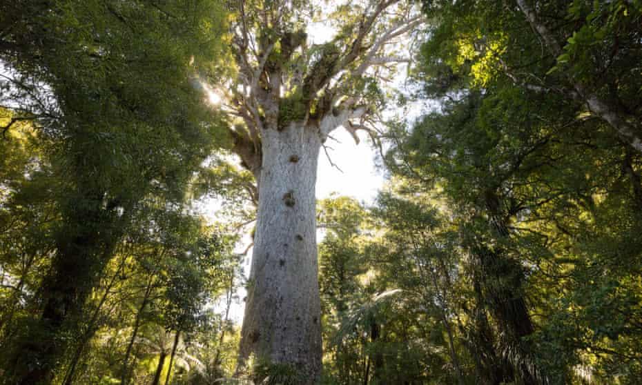 Tāne Mahuta, the the world's largest surviving kauri tree