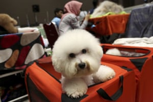 A bichon frise dog sits peeks out of a red box during a pet show in Jakarta, Indonesia