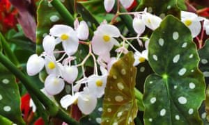 Join the dots: Begonia maculata.