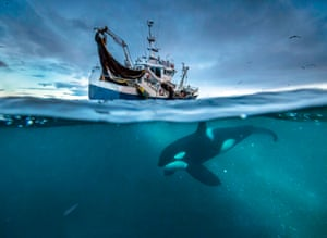Orca, Herring fishing in Norway