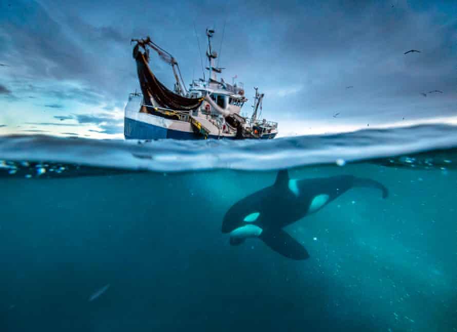 Orca, Herring fishing in Norway