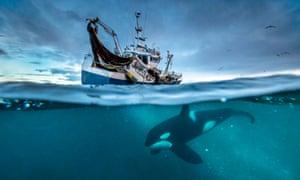 An orca near a Norwegian fishing vessel in Blue Planet II