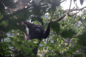A chimpanzee in a tree in Nyungwe National Park, Rwanda. Nyungwe National Park, which has Africa's largest protected mountain rainforest, hosts 13 species of primates and is home to east Africa's most diverse primate population, according to the Rwandan Development Board.