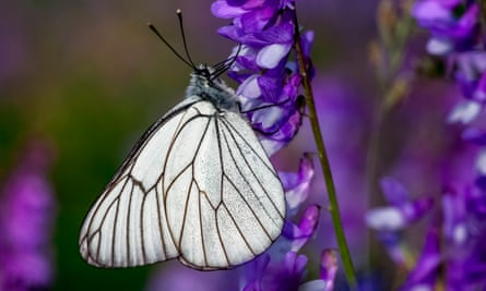The black-veined white butterfly.