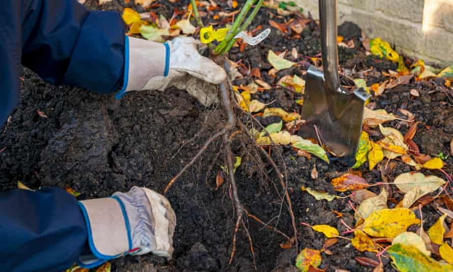 A gardener plants bare-rooted roses