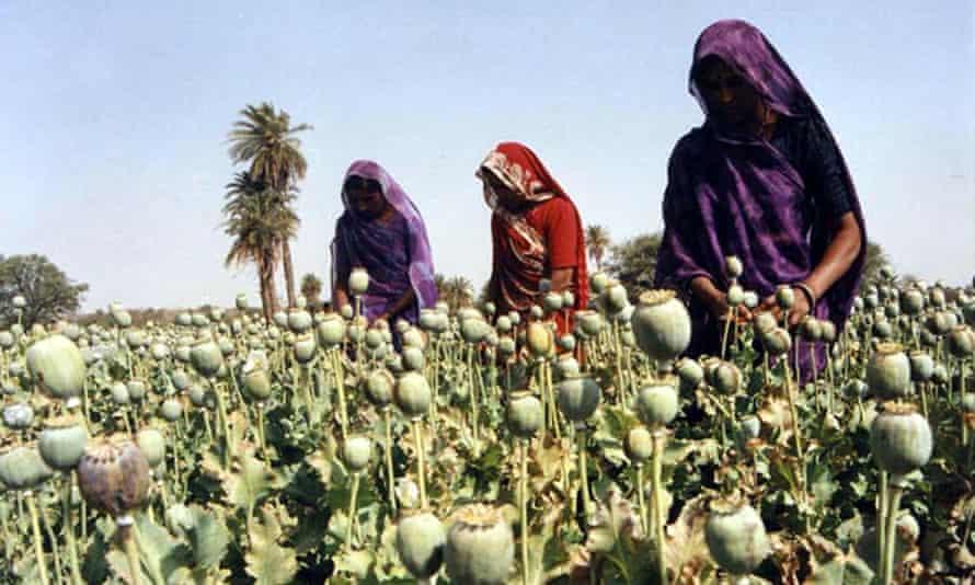 Women cultivate poppy plants near Bhopal, India.