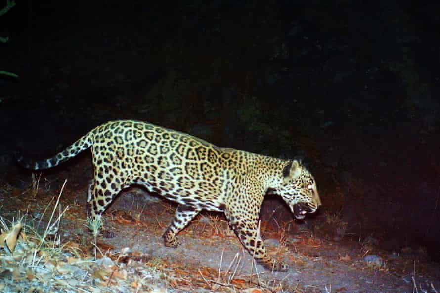 A Mexican jaguar dubbed 'the Boss' is seen in Tucson, Arizona, in a photo provided by the US Fish and Wildlife Service in 2017.