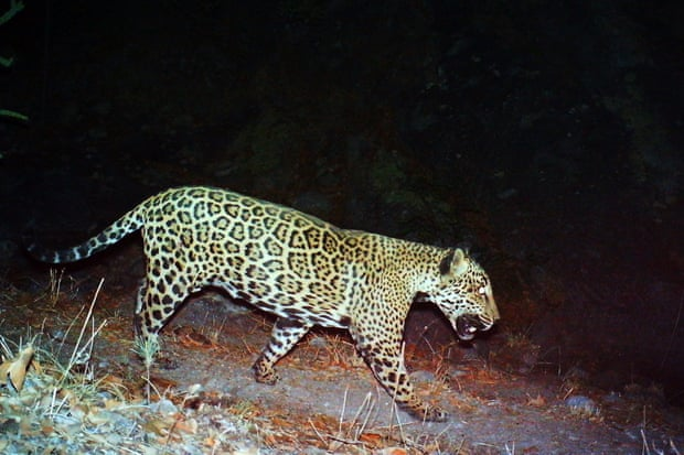 A Mexican jaguar dubbed 'the Boss' is seen in Tucson, Arizona, in a photo provided by the US Fish and Wildlife Service in 2017. Photograph: USFWS/EPA