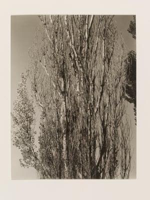 Alfred Stieglitz, Poplars, Lake George, 1932