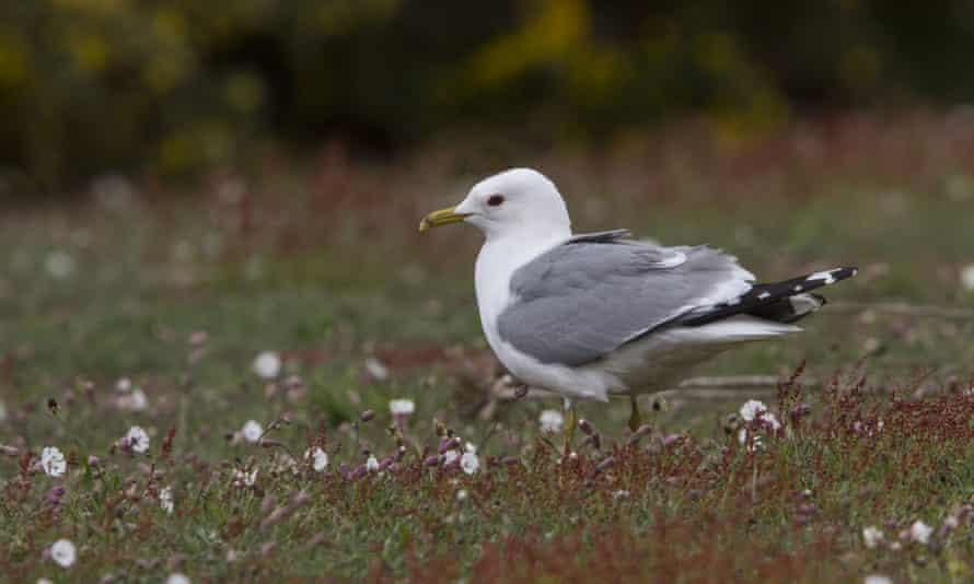 Common Gull,Suffolk