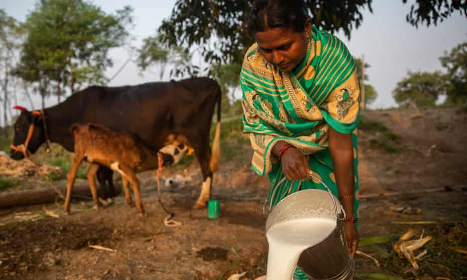 Sangeeta Katveer milks her cow ready for the evening delivery to Lakshmi community dairy in nearby Tungi village, Latur, October 2020