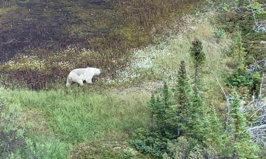 Image of a polar bear spotted on manhunt for suspects in a murder case in Manitoba, Canada.