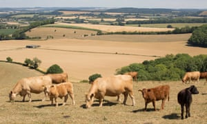 Cattle graze in a field of dried grass in Wiltshire, England, during the 2018 heatwave.