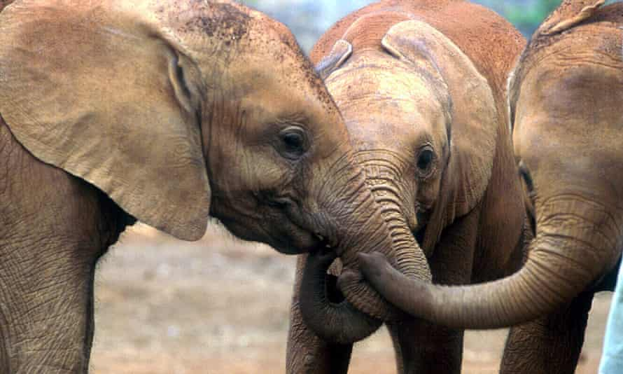Orphan baby elephants playfully entangle their trunks while greeting one another at the David Sheldrick Orphanage in Nairobi, Kenya.