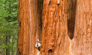 Most giant sequoias lie within protected national parks.