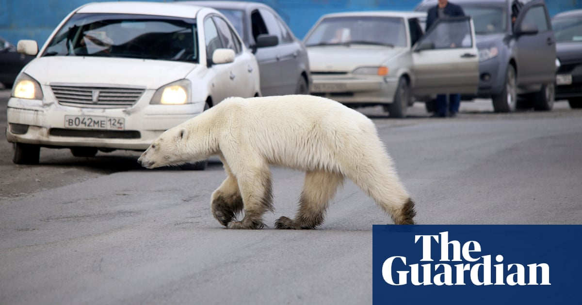 Stricken polar bear turns up in Siberian city, hundreds of miles from home